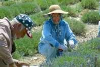 Hand weeding a lavender field